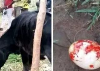 Kakamega Cow Gives Birth To An Egg; Owner Blames Area Witches.
