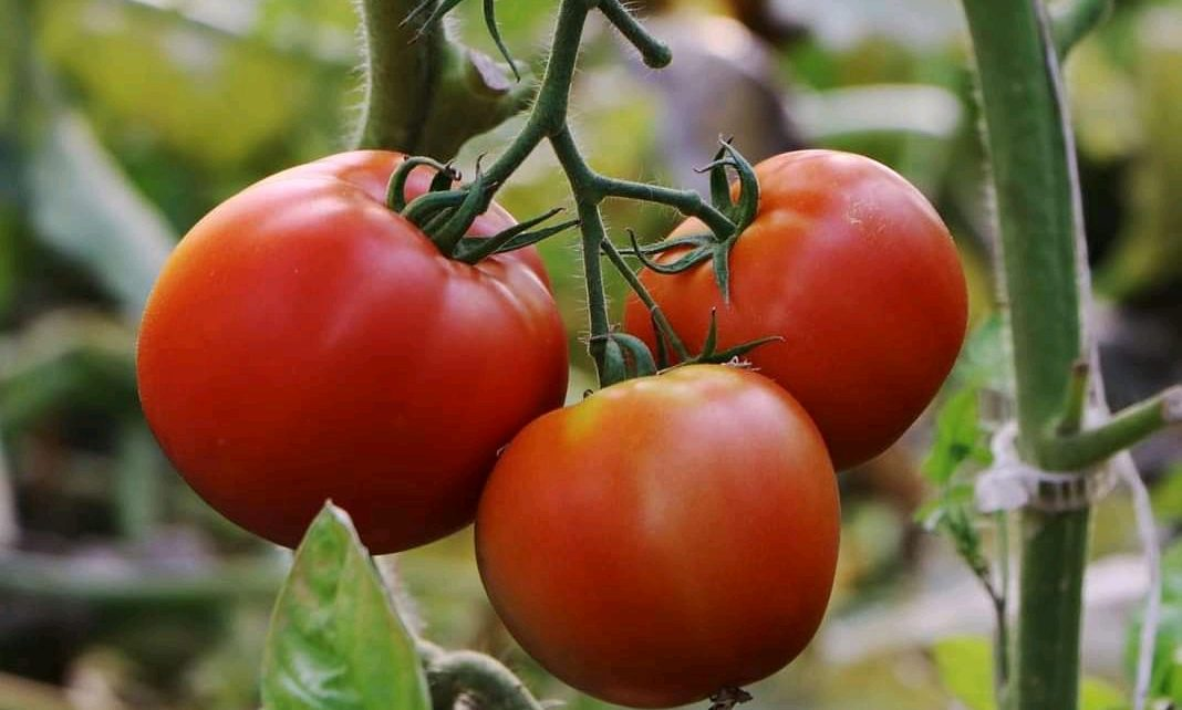 How To Farm Tomatoes On Small Scale and Earn Over Ksh 100,000 Per Harvest
