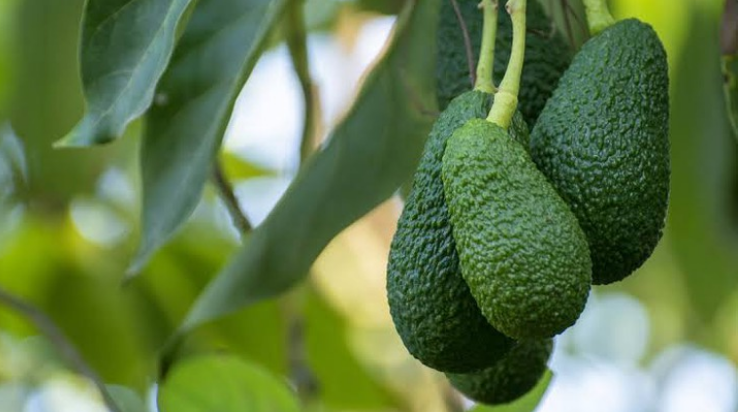 How Hass Avocado Exports can lake you Millions In Kenya