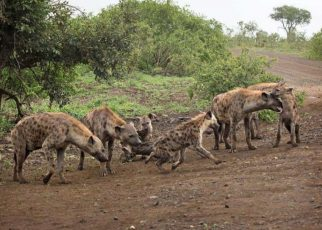 Kigumo Residents Run For Their Lives After A Pack Of Hyenas Attacked Them Again