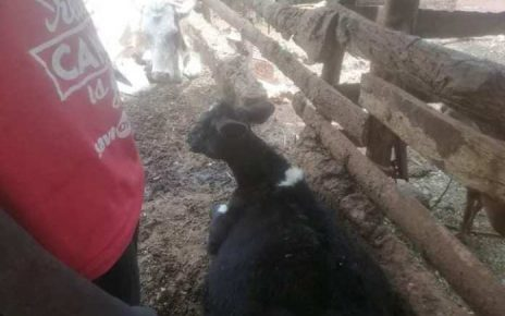 SHAME! Bungoma Man caught in the act with a calf – What is wrong with Luhya men? (PHOTOs)